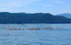 Geese on Priest Lake near Elkins Resort