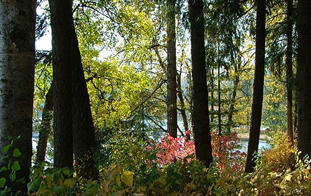 Trees At Priest Lake Elkins Resort On Priest Lake