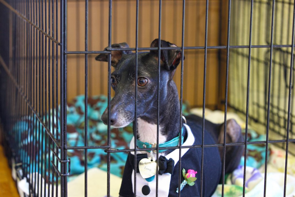 Italian greyhound in crate