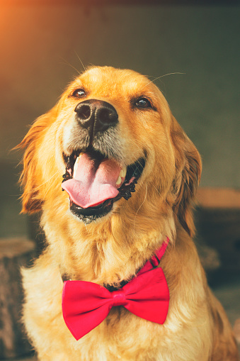 golden retriever with bow tie